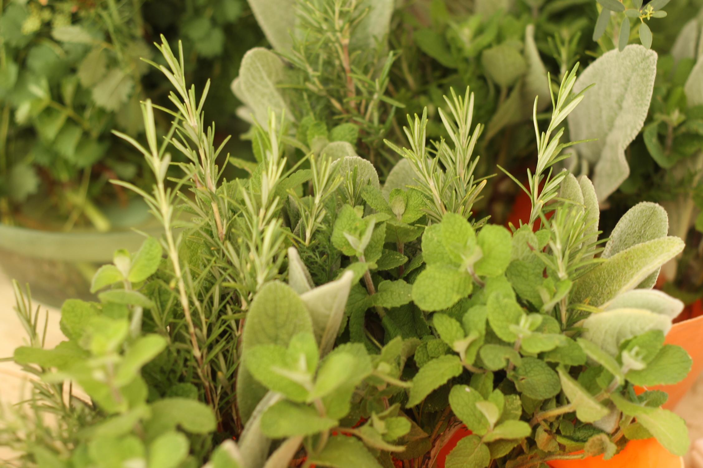 ハーブを「植える」+「育てる」+「使う」+「飲む食べる」方法を学ぶ講座@熊谷