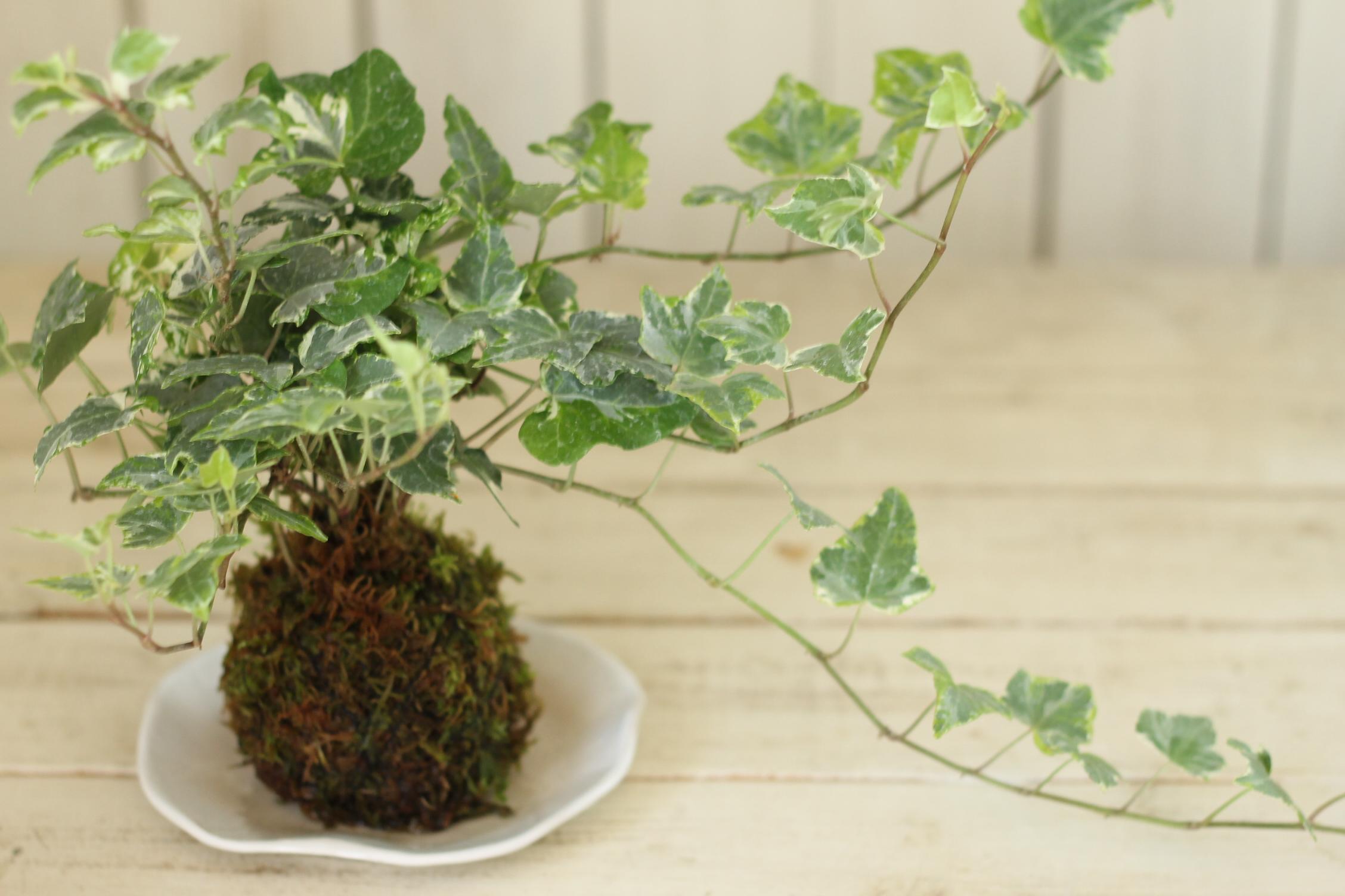【受付開始】苔玉・多肉植物の寄せ植えワークショップ@伊勢丹浦和店4階