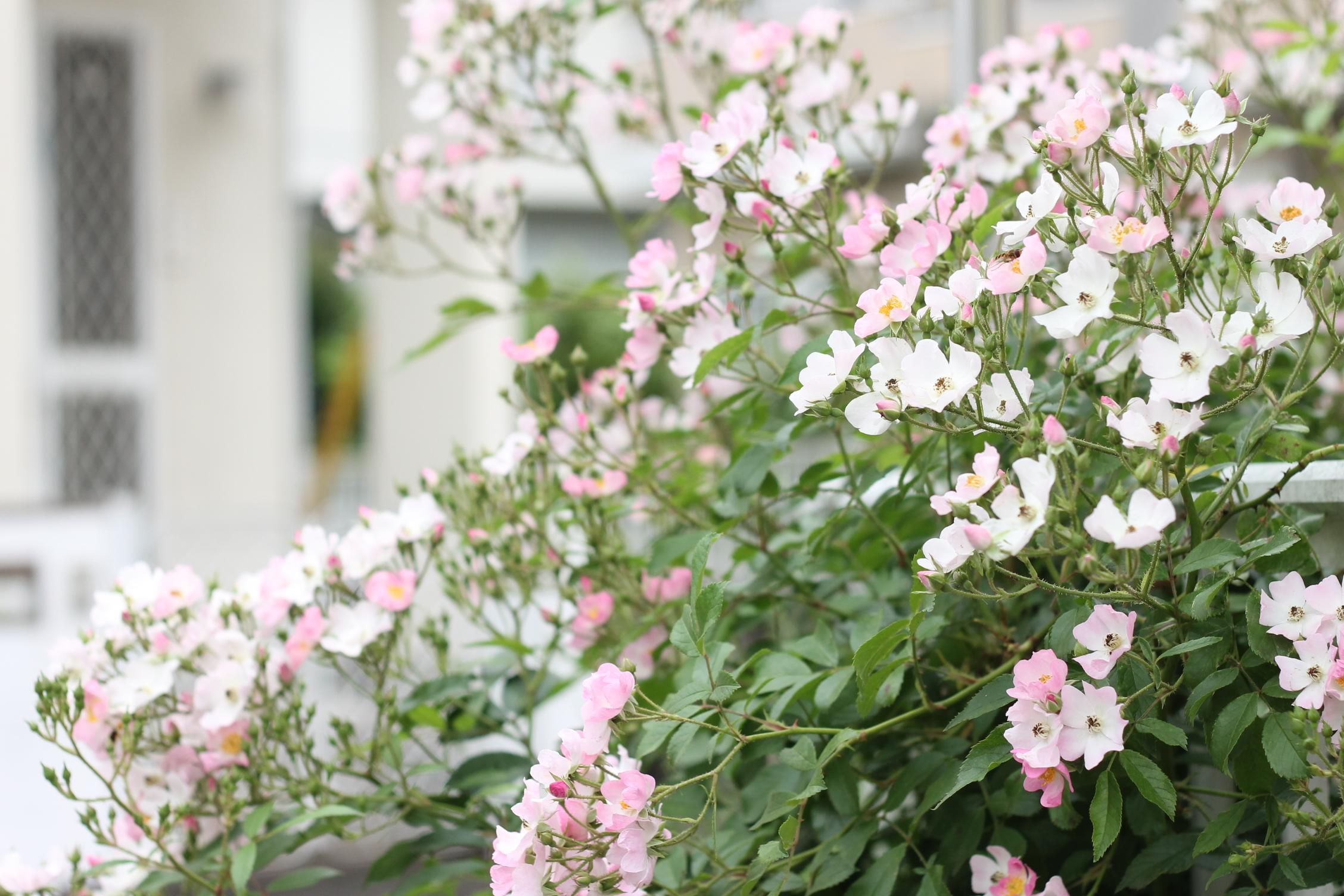 お庭にバラを植えましょう!