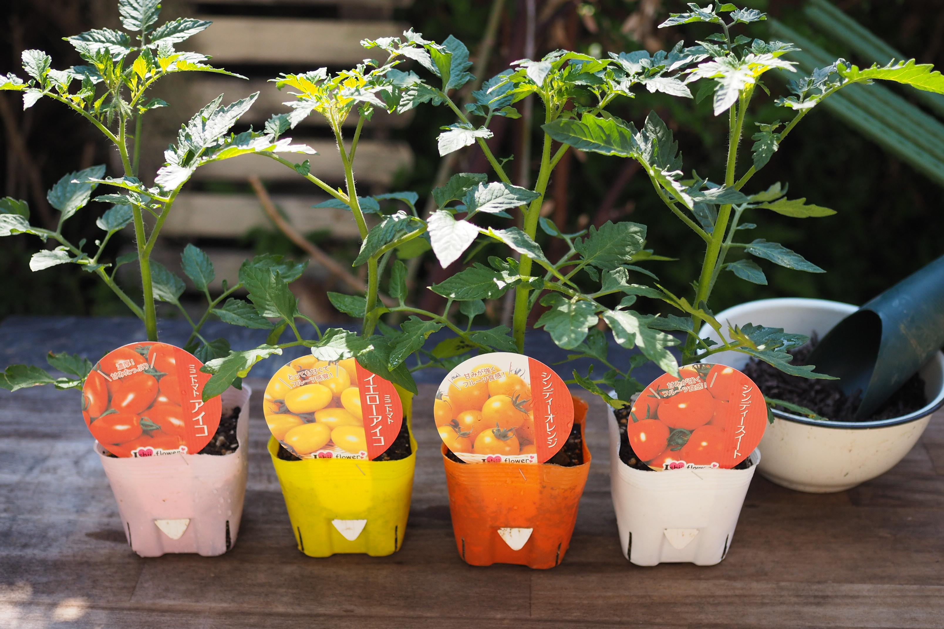 ガーデニングレッスンベーシックコース・4月は「ミニトマトを極める」
