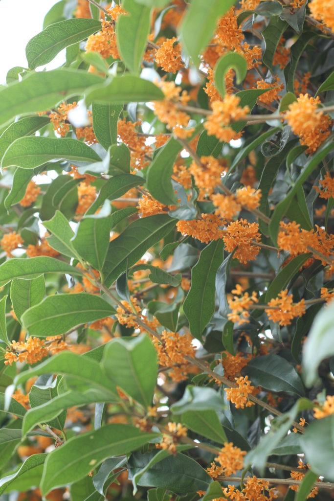 キンモクセイの花の香りを長持ちさせる方法