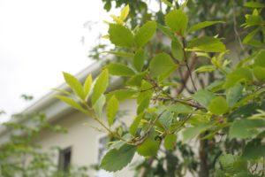 ソヨゴなどの常緑樹で目隠しも考えて配置をしています。